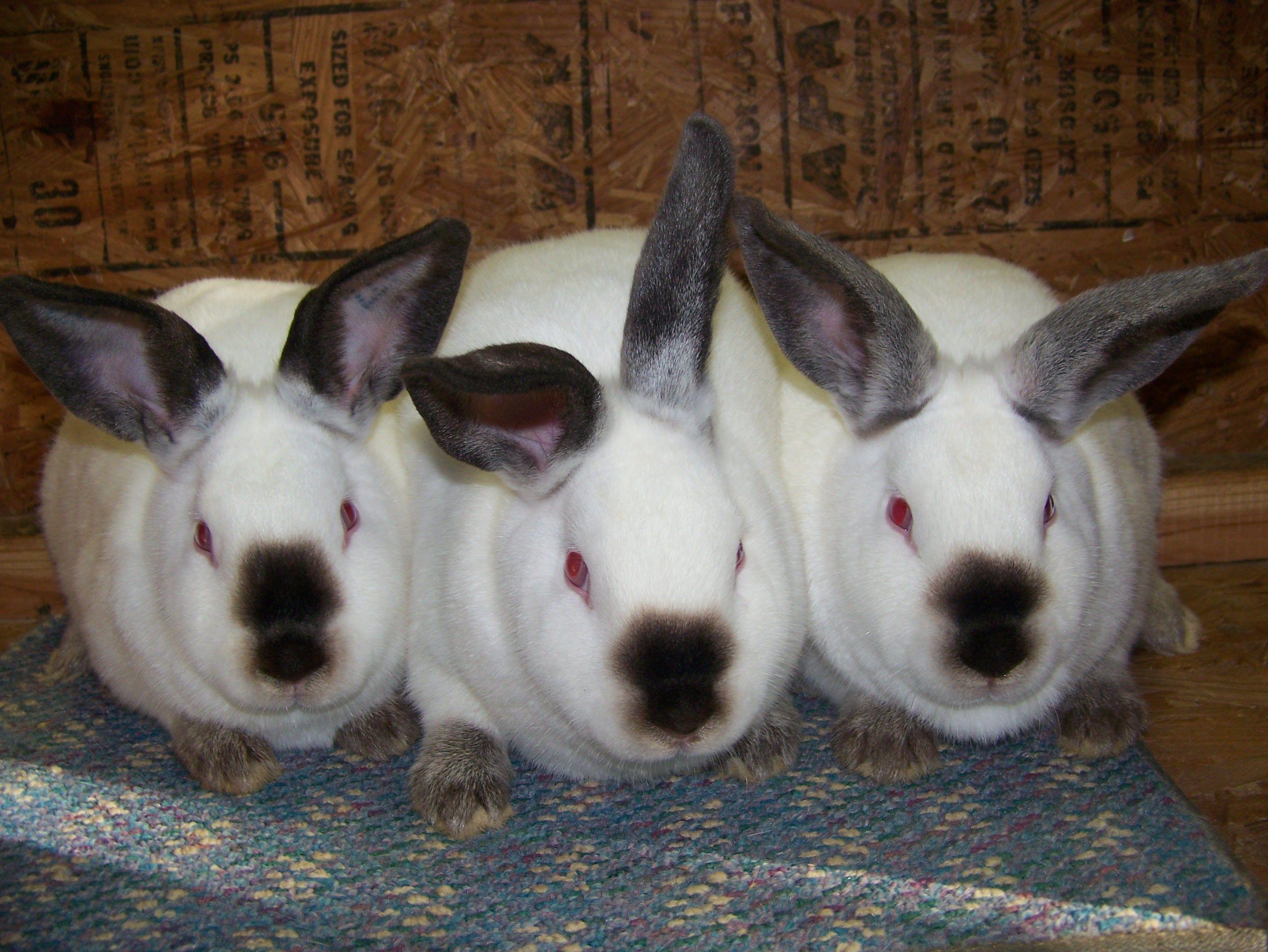 Californian Meat Pen Rabbits   Meat rabbits breeds, Raising