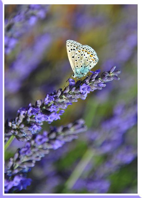 Beautiful Butterfly on what I think to be a lilac branch