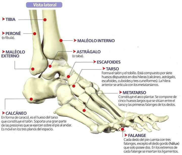 Huesos Del Pie Anatomia Del Pie Dolor Tobillo Anatomia Musculos