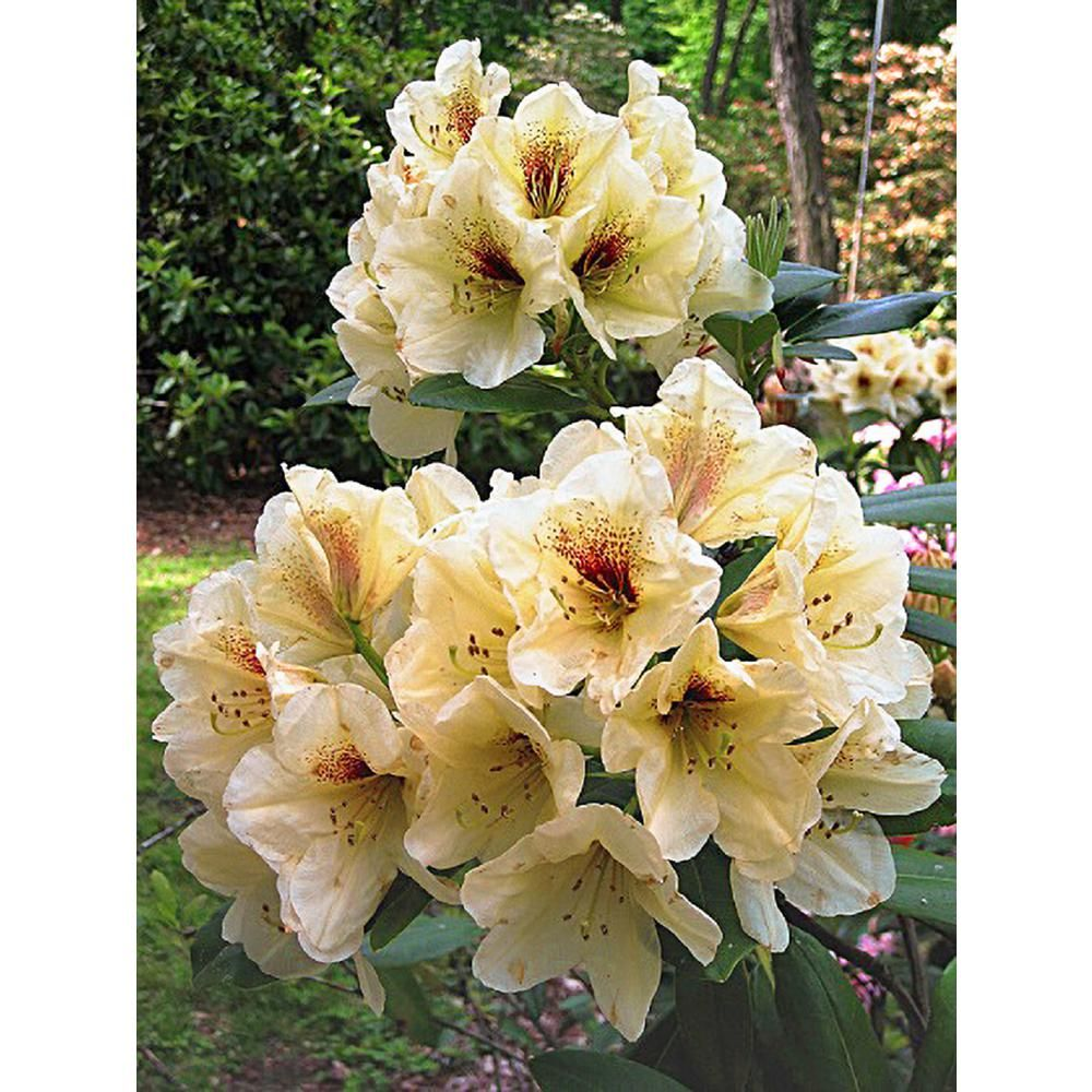 Hardy to 5 F Rhododendron Pomegranate Splash #1 Container Size Plant