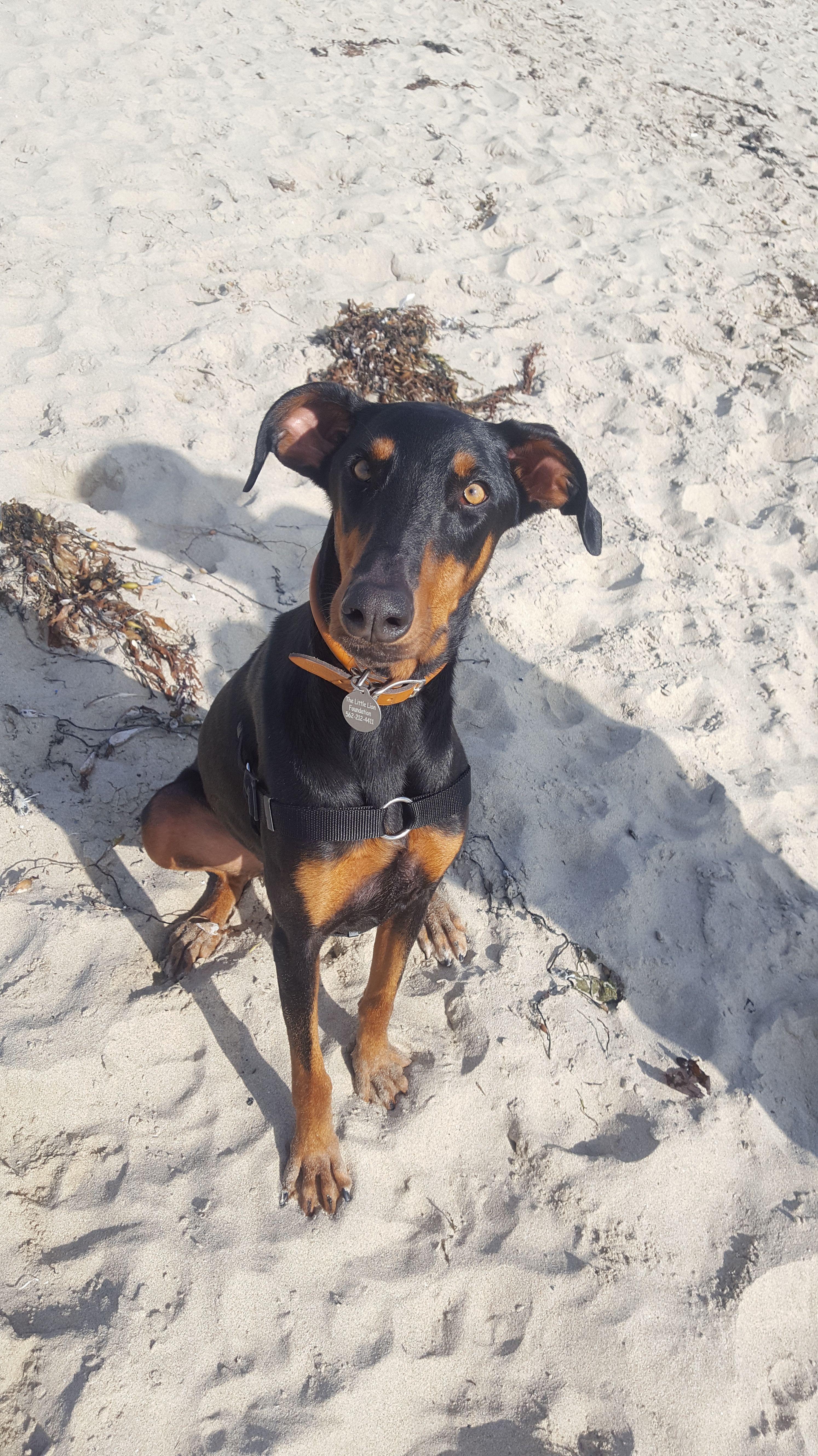 Doberman Pinscher Dog For Adoption In Long Beach Ca Adn 612887