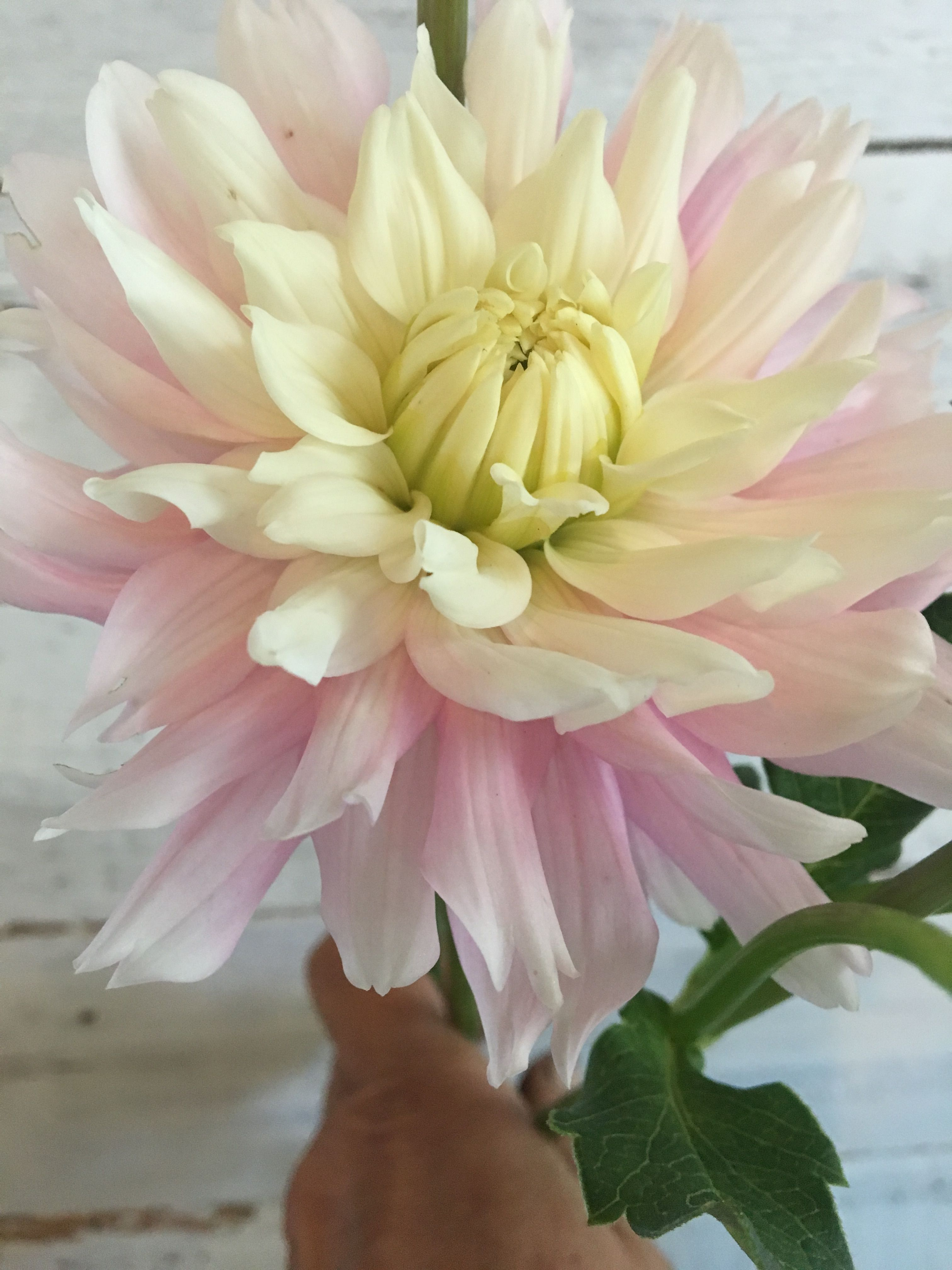 Chiltons Pride Dahlia Decorative Type Yellow Center To Light Pink With Touches Of White At The Ends Unique Verity Blush Flowers Wedding Flowers Dahlia