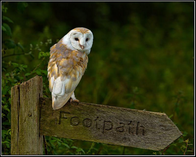 Barn Owl, Gloucestershire, by Stuart Andrews