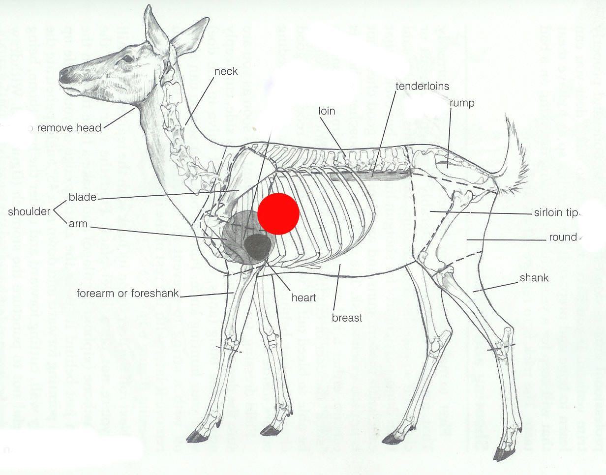 deer anatomy.jpg (1232×966) | animal anatomy | Pinterest | Animal ...