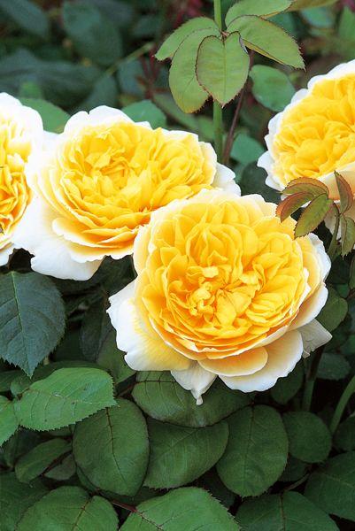 ~Rosa Charlotte ('Auspoly') (PBR)