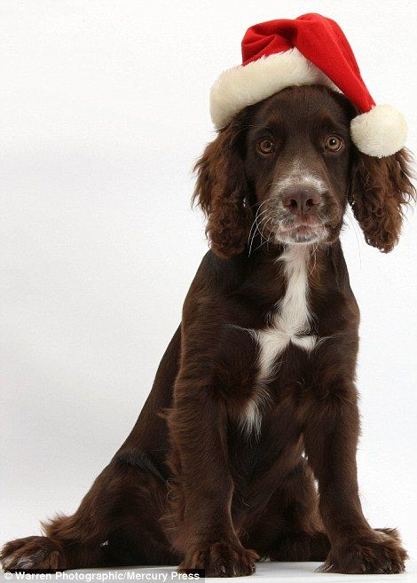 Does this suit me? Jeff the cocker spaniel pup in a Santa hat...