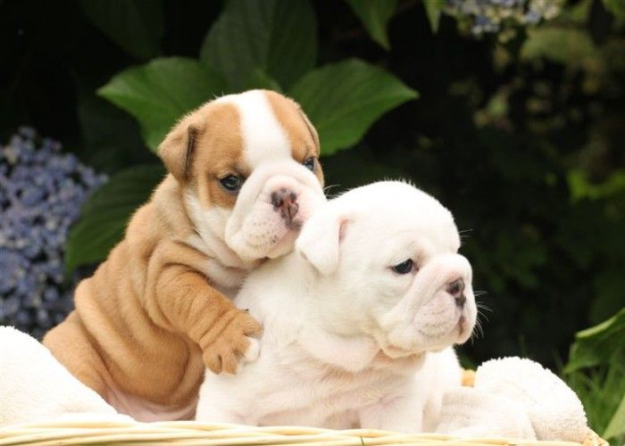 Top Quality English Bulldog Puppies Akc Amazing Pedigree Bulldog Puppies English Bulldog Puppies Bulldog Puppies For Sale