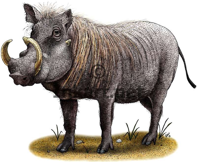 Full color illustration of a Warthog (Phacochoerus africanus)