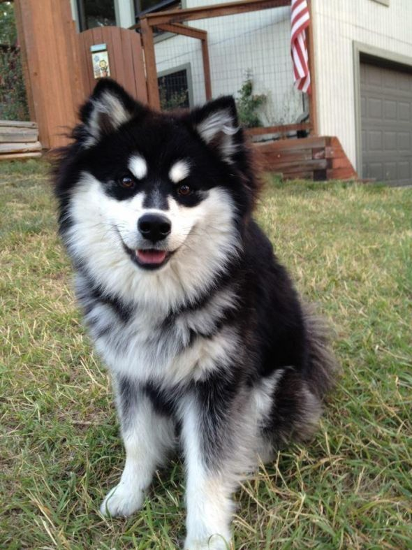 Finnish Lapphund Kittens And Puppies Puppies Cute Animals