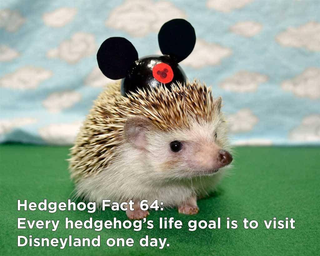 Twenty Incredible Hedgehog Facts That Will Astound You Hedgehog