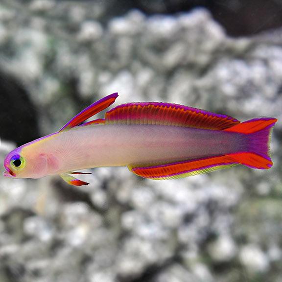 Saltwater Aquarium Fish For Marine Aquariums Firefish Purple Saltwater Aquarium Fish Salt Water Fishing Salt Water Fish