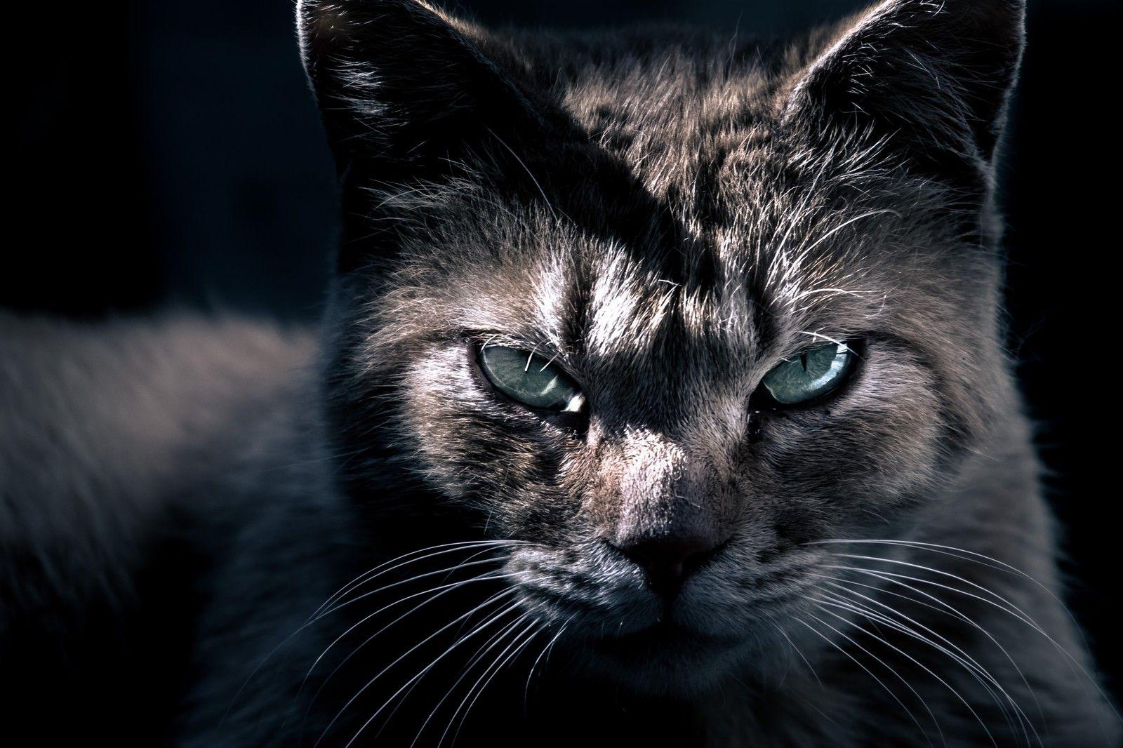 眼光の鋭い猫眼光の鋭い猫」のフリー写真素材を拡大 | Cats, Cat ...