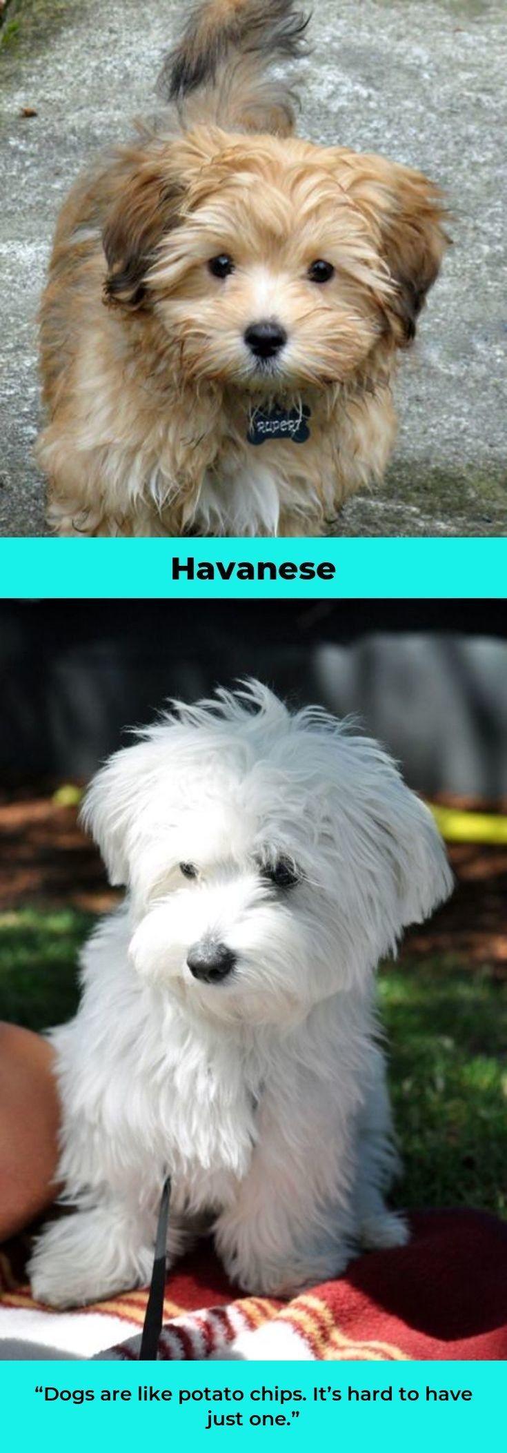 Havaneseofiran Havanese Haircuts Havanesedaily Havanese Puppies Havanese Havanese Dogs