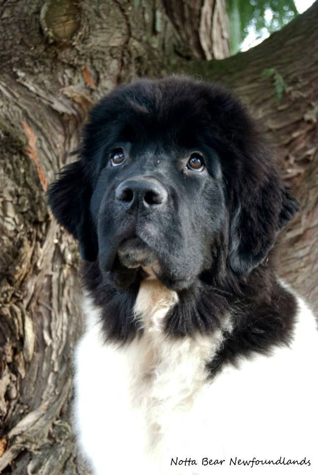 Pin on Newfoundland puppies