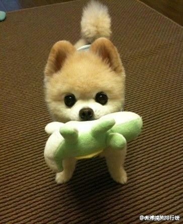 Pomeranian For Fu Dog Reference Toy In Mouth Cute Animals