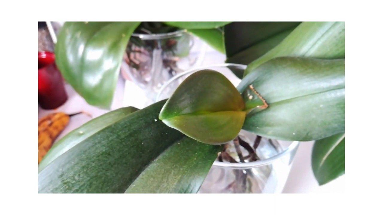 Arroser Ses Orchidees En Culture En Eau Water Culture Orchidee