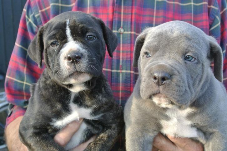 Daryl Sis Cane Corso Animals Pets