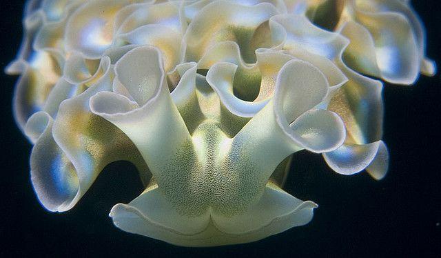 Lettuce Sea Slug (Elysia crispata) from the Cayman Islands.