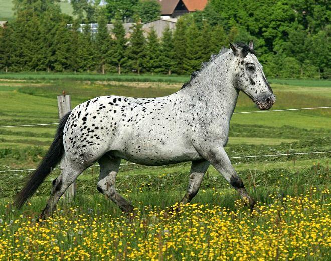 Noriker, or Norico-Pinzgauer, Oskar. An old breed developed in the Alpine region of Austria. Generally, it is a light, very elegant coldblood seen in most coat colors, including leopard complex. photo: BlackSoulChoir.