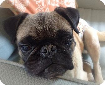 Pin By Odie M On Pug Rescue Pugs Pets Pug Rescue
