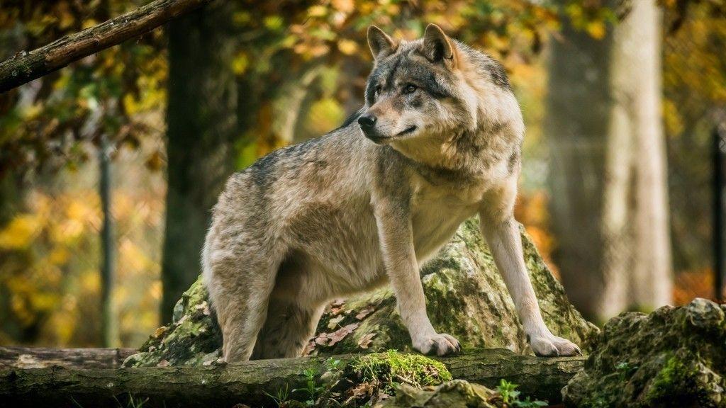 Wild Animal Wolf Wallpapers Hd 51074 Wallpaper: Wild Animals, Predator, Wolf Wallpaper