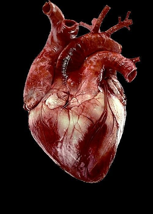 real human heart beating - photo #11