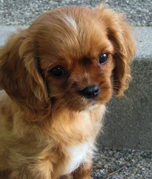 The Cutest Puppy I Ve Ever Seen King Charles Cavalier Spaniel