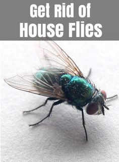 How To Get Rid Of Flies Home Remedies To Control House Fly With Images Fly Repellant Fly Spray Get Rid Of Flies