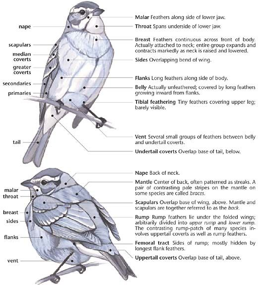 blb 02 04 520 574 taxonomias pinterest search birds and anatomy. Black Bedroom Furniture Sets. Home Design Ideas