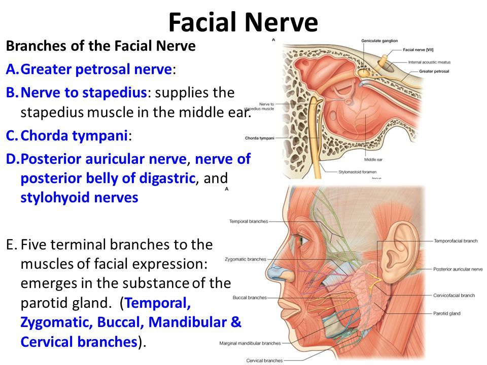 Image result for branches of facial nerve | Med- digestive ...