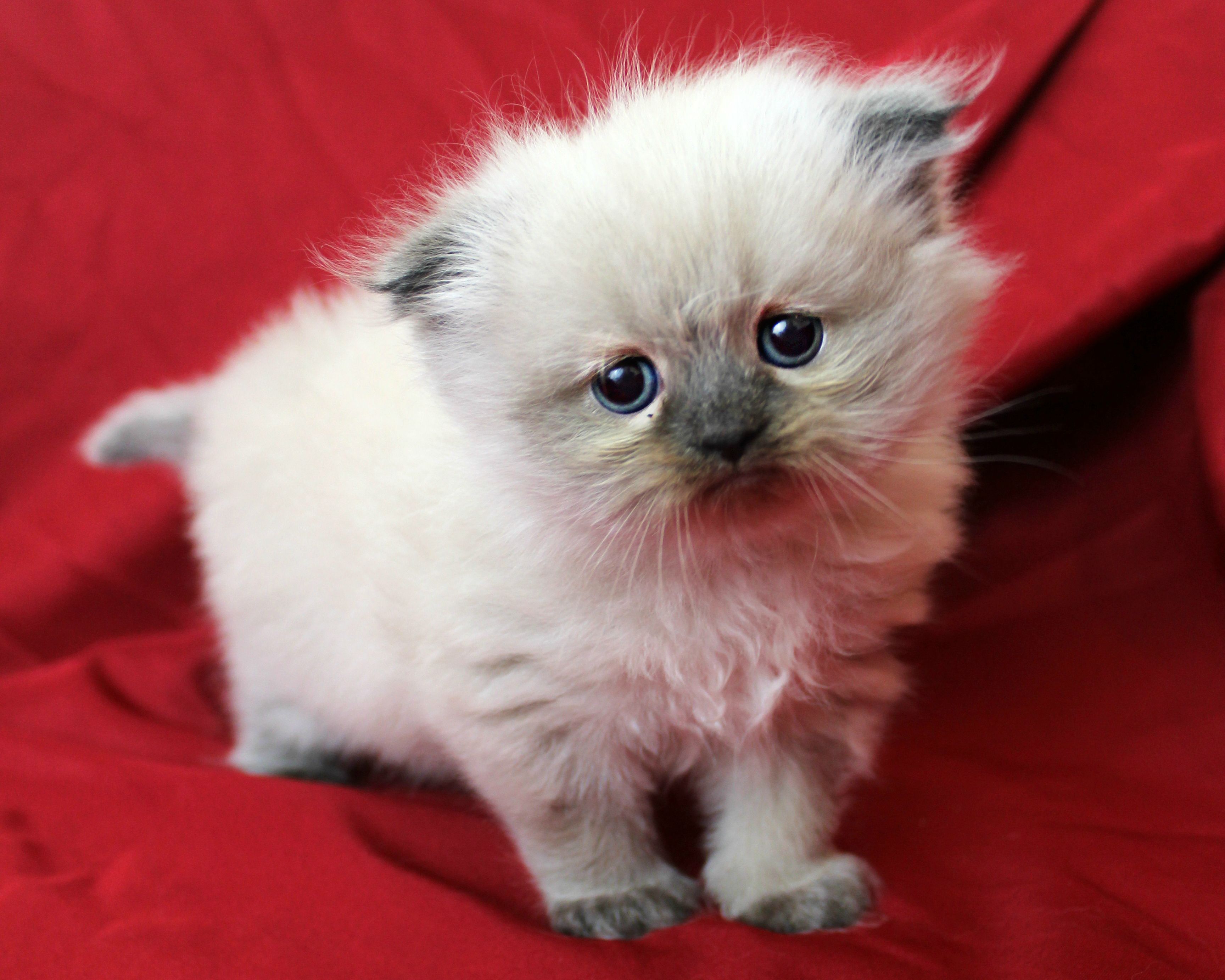 Danielsdencats Himalayan Cats And Kittens Of Augusta Georgia Cats Cats And Kittens Cute Cats
