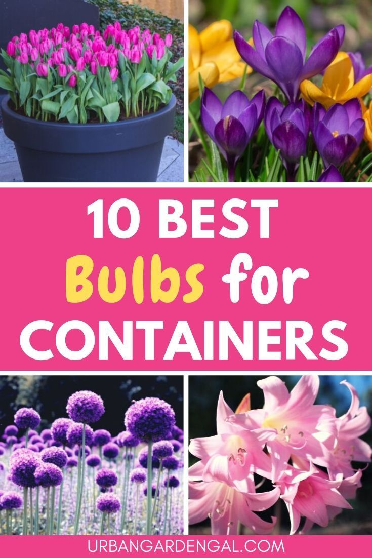 10 Best Bulbs for Containers
