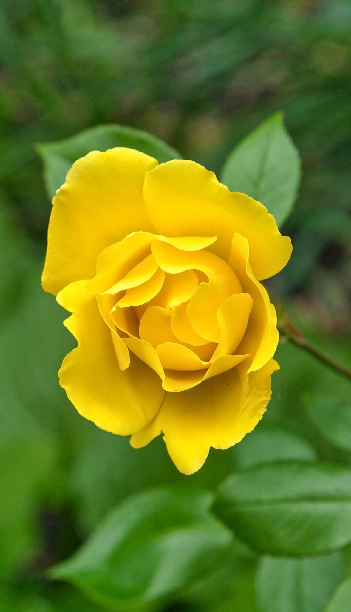Yellow Rose Beautiful flowers, Love flowers, Rose