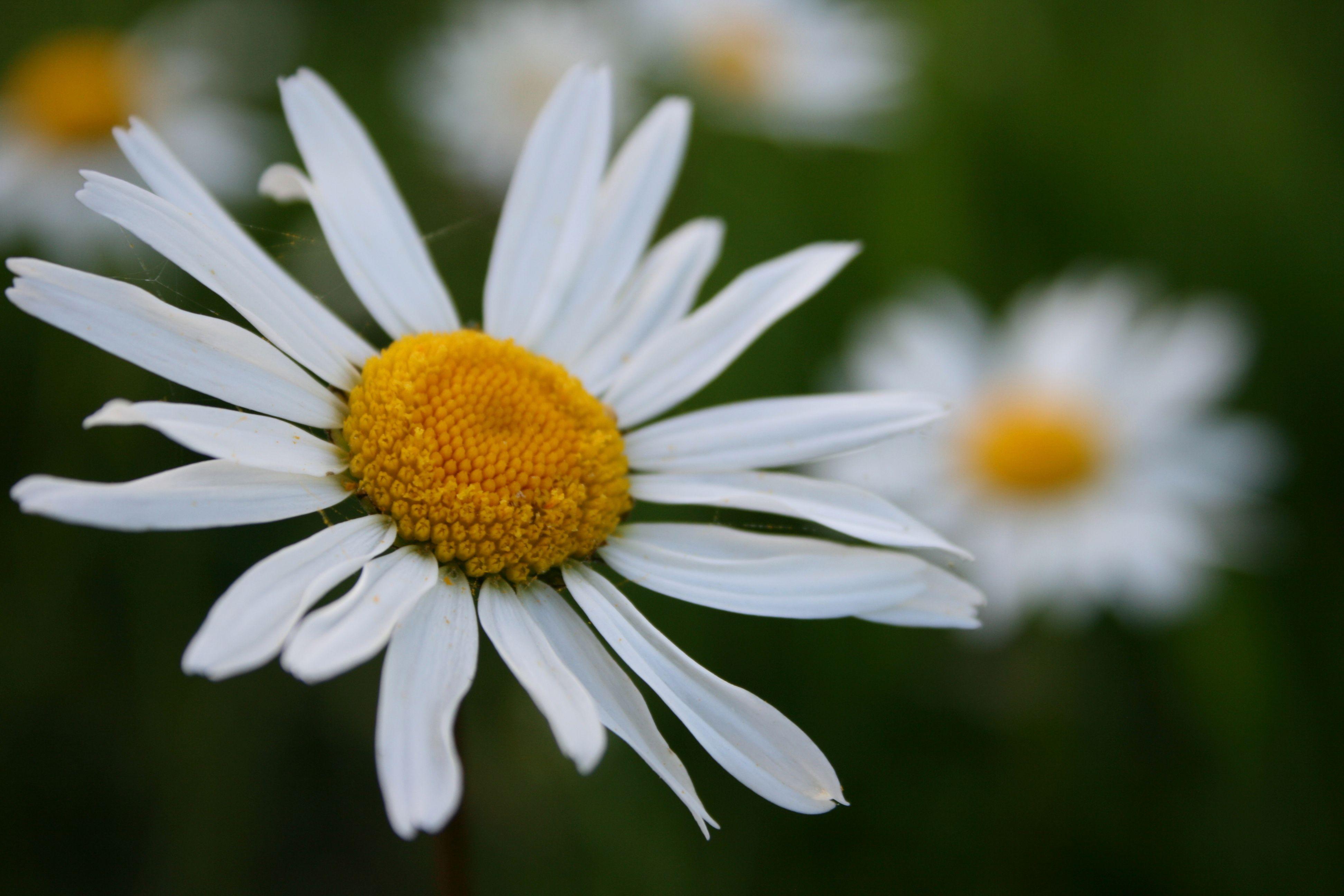Wild daisy flowers pinterest flowers wild daisy izmirmasajfo