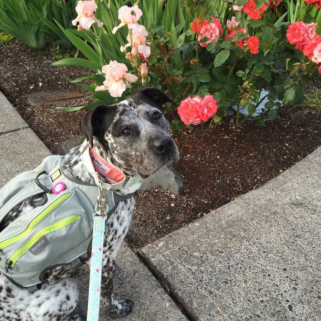 Hope you're all having a pawesome #friyay! I found some pretty flowers on my walk  mint collar & leash from @dogsbythebay Singletrak backpack from @ruffwear -------------------------------------------- Follow my pawtners: @lilpittiecleo @aryathepitbull @lily.the.tripawd @paisliefaith @atlasunleashed -------------------------------------------- #prettyflowers #dogwalk #dogbackpack #ruffwear #dogcollar #dogleash #dogsbythebay #wagaware #furbaby #rescuedog #adoptdontshop #staffiemix #heelermix…