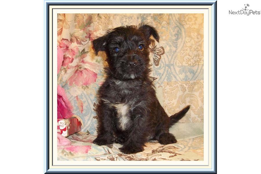 West Highland White Terrier Westie Puppy For Sale Near Tallahassee Florida B3e7b0b5 30f1 Westie Puppies For Sale Westie Puppies Puppies