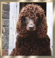 Irish Water Spaniel | Irish water spaniel, Dog breeds that ...