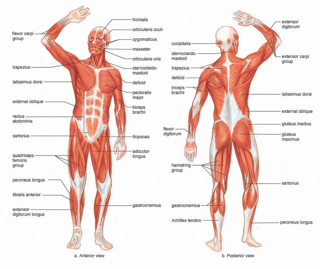 Human Muscle Gross Anatomy Anterior And Posterior View Human Body