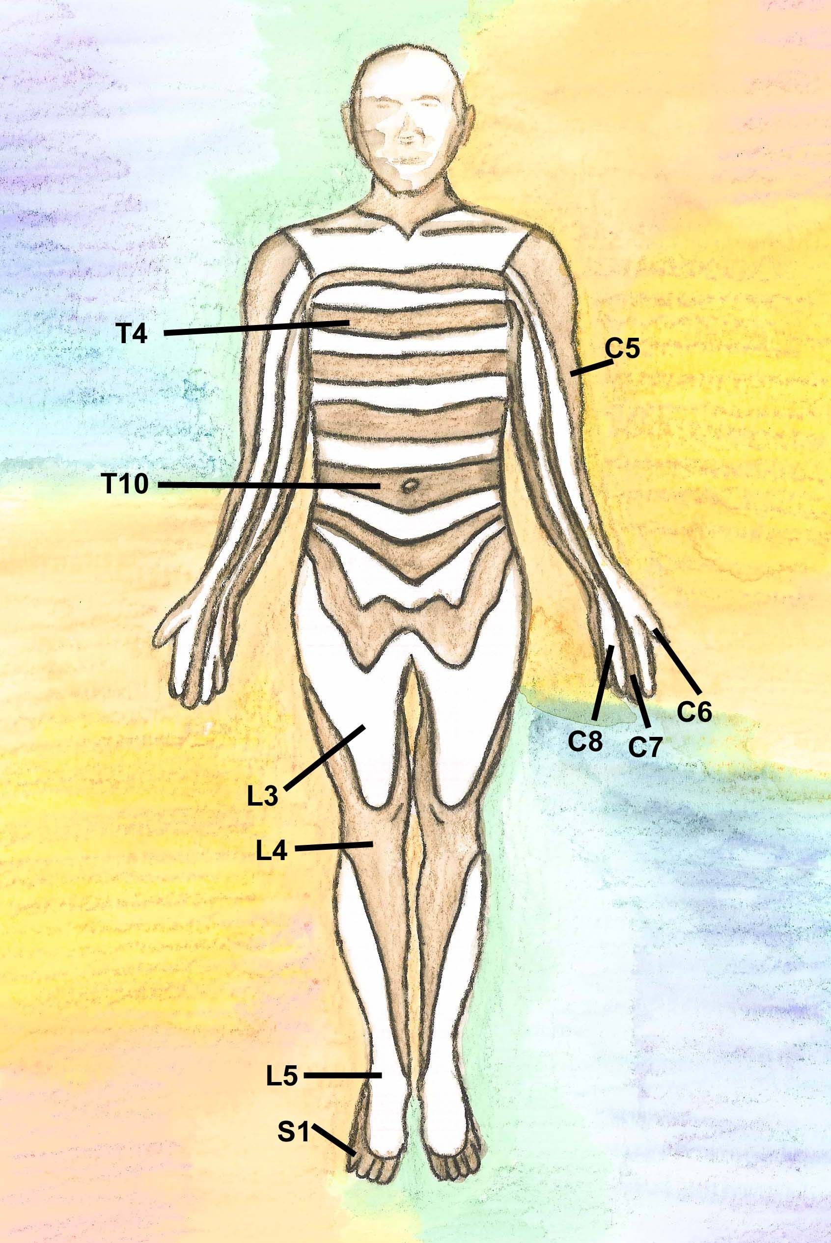 Diagram of dermatomes - nerve exit points in spinal anatomy ...