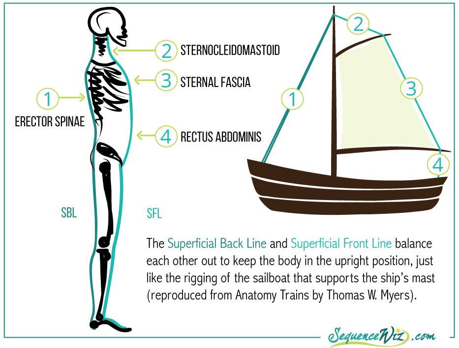 Beautiful Superficial Front Line Anatomy Trains Image Collection