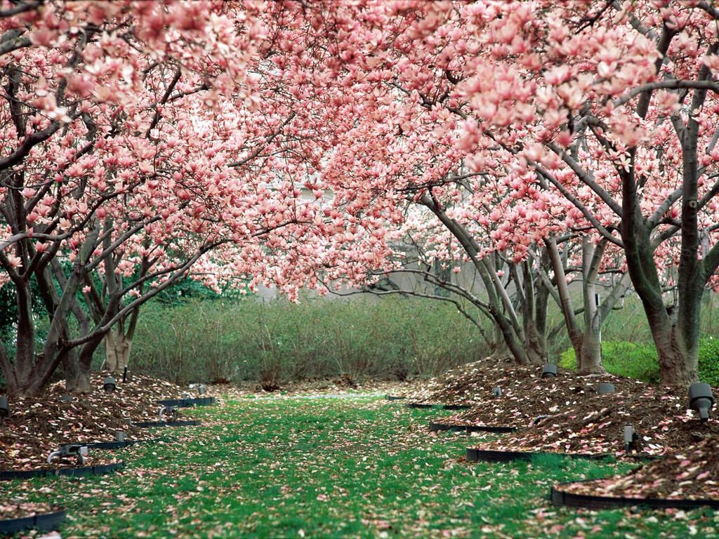 Wow Want To See Pretty Rt Mohammed Hamad Pink Cherry Blossom Cherry Blossom Wallpaper Blossom Trees Spring Wallpaper