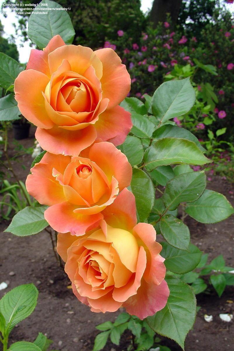 Orange Garden Rose: Hybrid Tea Rose 'Alpine Sunset'