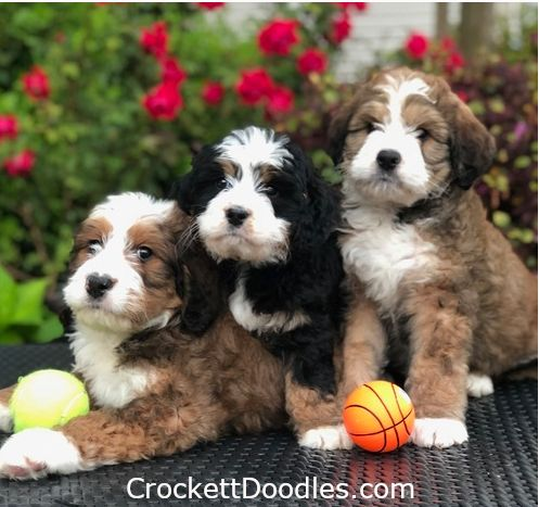 3 Gorgeous Bernedoodle Siblings From Www Crockettdoodles Com Bernedoodle Bernedoodle Puppy