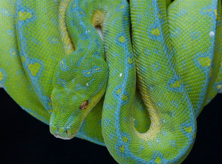 Emerald Tree Boa Fish Tank Plants Emerald Tree Boa Blue Tree