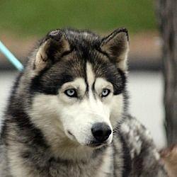 Millersville Md Siberian Husky Meet Timber Medical Pending A