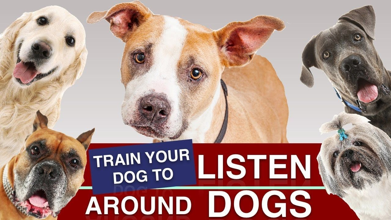 How To Train Your Puppy To Listen Around Other Dogs Training
