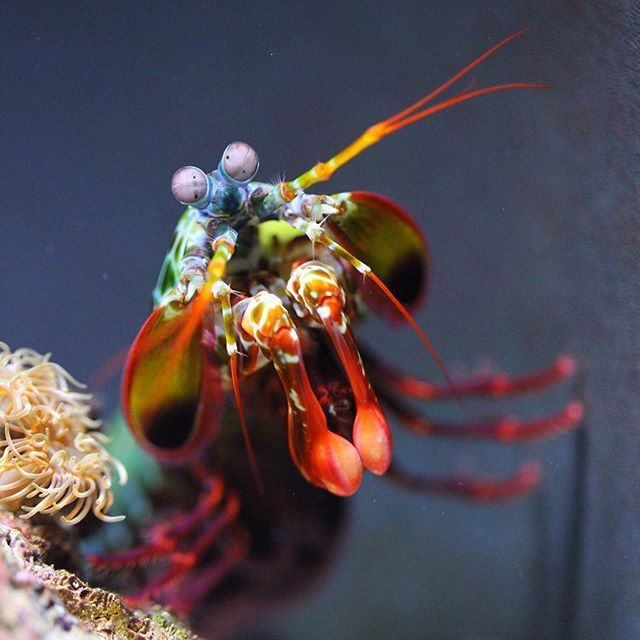 Baltimore Md Mantis Shrimp Baltimore Animals