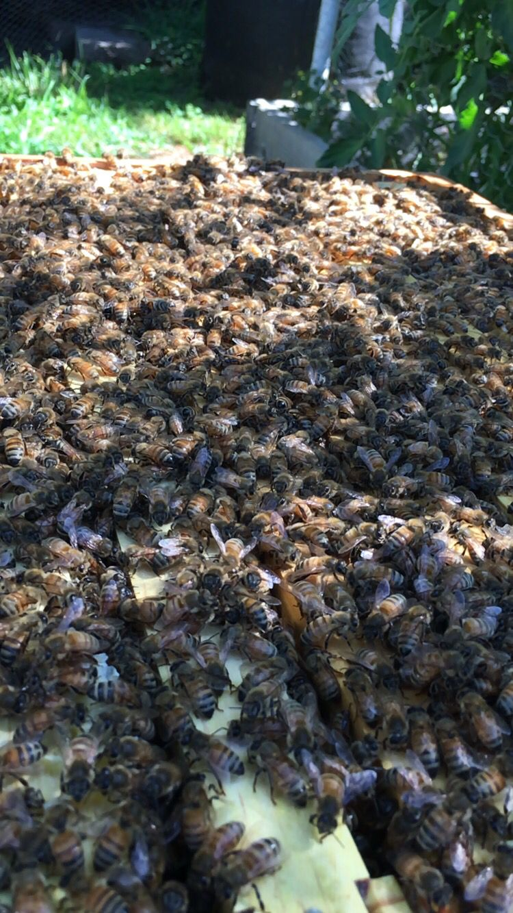 inside the brooder box they have 1 full frame of capped honey and