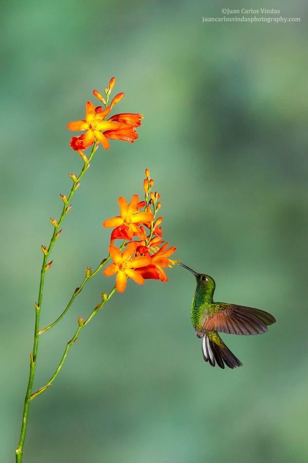 Stripe Tailed Hummingbird By Juan Carlos Vindas On 500px
