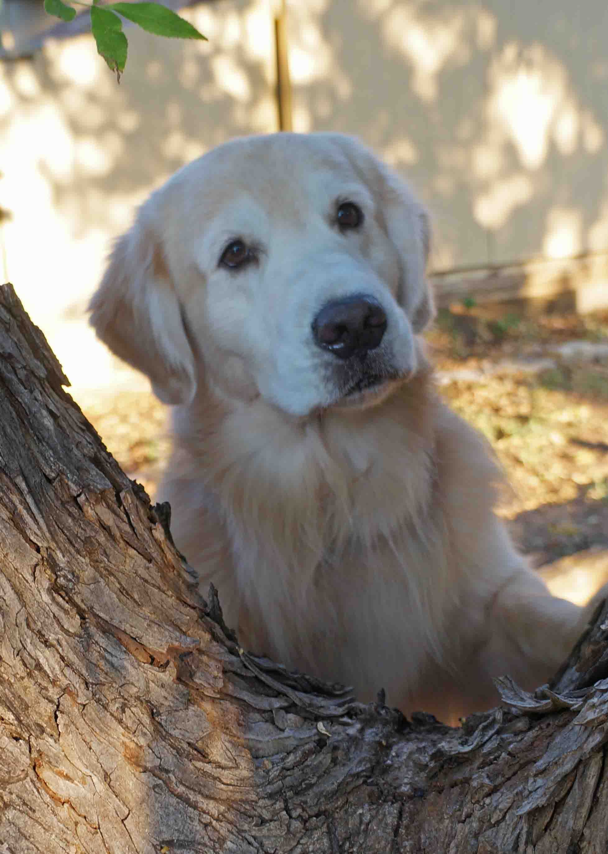 What Do You See Jack Golden Retriever S Beloved Dog D Is For Dog